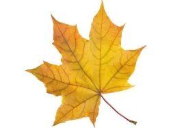 Картинки листья клена