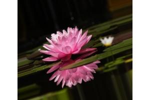 Цветы лотоса картинки