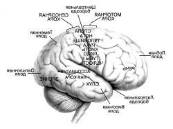 Картинки мозга человека
