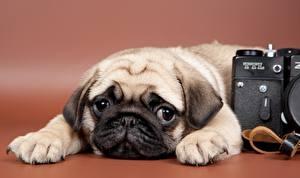 Картинки собаки мопс
