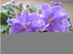 Фиалки фото цветы
