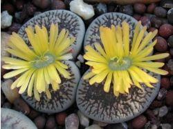 Живые камни фото цветы