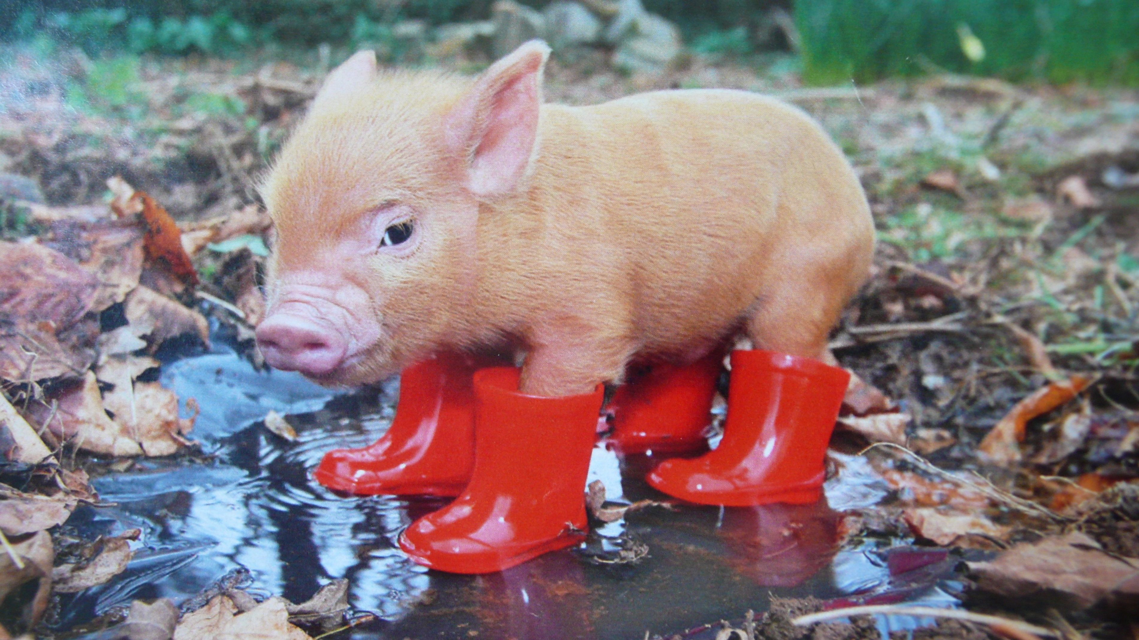Прикольные картинки с свинками