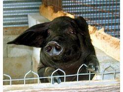 Фото прикольные свиней