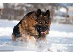 Немецкая овчарка фото зима 3