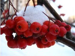 Фото зима рябина 4