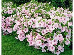Лаватера фото цветы 3