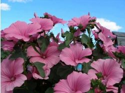 Лаватера фото цветы 6
