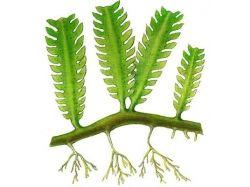 Картинки водоросли 6