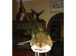 Калуга рыба фото 4