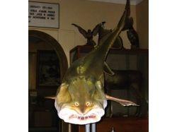 Калуга рыба фото 6