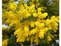 Цветок мимоза фото 1