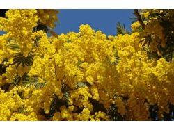 Цветок мимоза фото 2