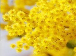 Цветок мимоза фото 5
