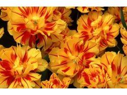 Цветы фото лютики 2
