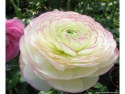 Цветы фото лютики 5
