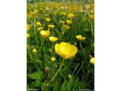 Цветы фото лютики 6