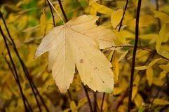 Осенний кленовый лист фото 5