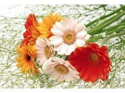 Фото цветов герберы 7
