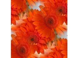 Фото цветов герберы 3