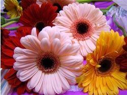 Фото цветов герберы 5