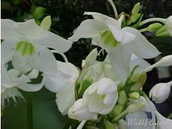 Фото цветы комнатные луковичные