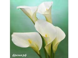 Фото цветы каллы