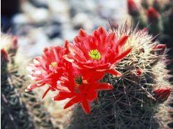 Фото цветы кактусы