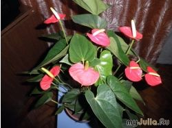 Антуриум фото цветы