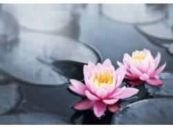 Картинки цветы лотос кувшинки на воде