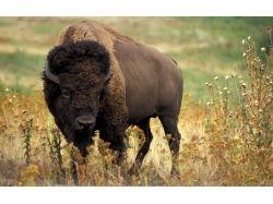 Картинки животные бык африканский