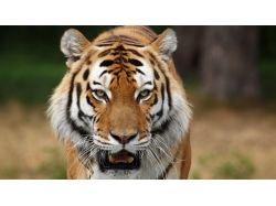 Кошки  и тигры картинки