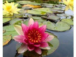 Картинки цветы лотос красивые