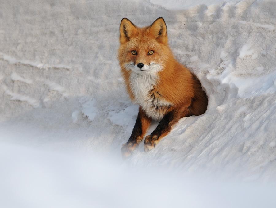 Картинки с изображением лисы около норы