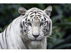 Креативные фото фольксваген с тиграми