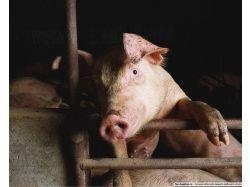 Картинки животные свинья