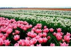 Широкоформатные фото тюльпанов