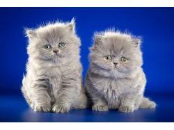 Котята британки фото