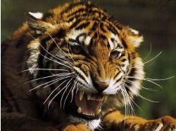 Картинки животные тигры