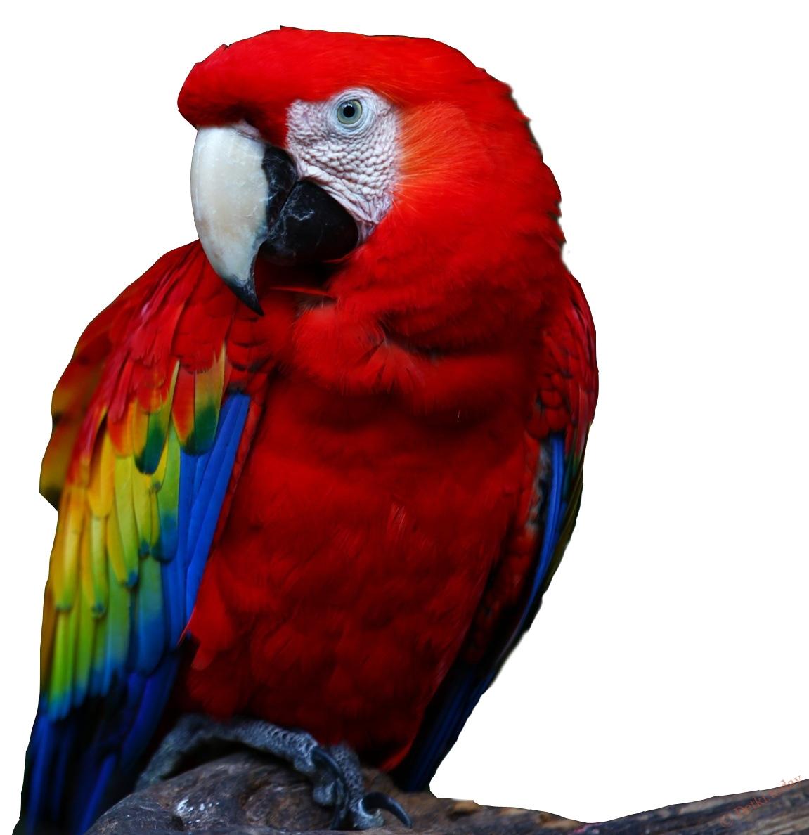 Картинка попугай для детей, рабочий стол