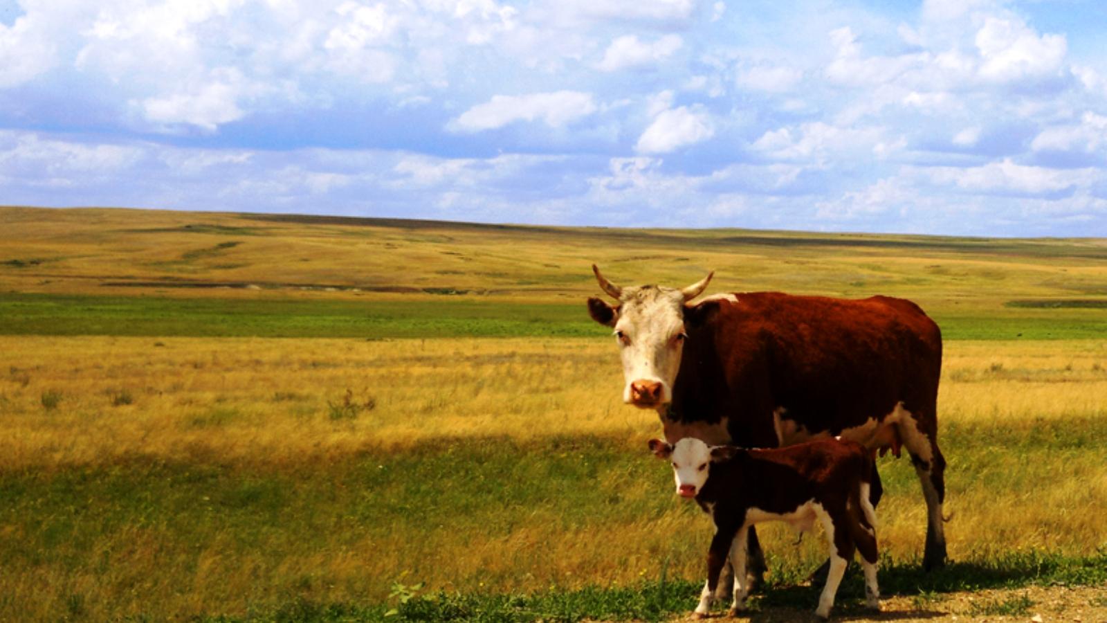 Корова с теленком картинки для детей » Скачать лучшие ...