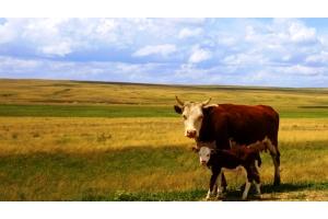 Корова с теленком картинки для детей