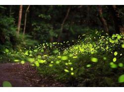 Светлячки насекомые фотографии