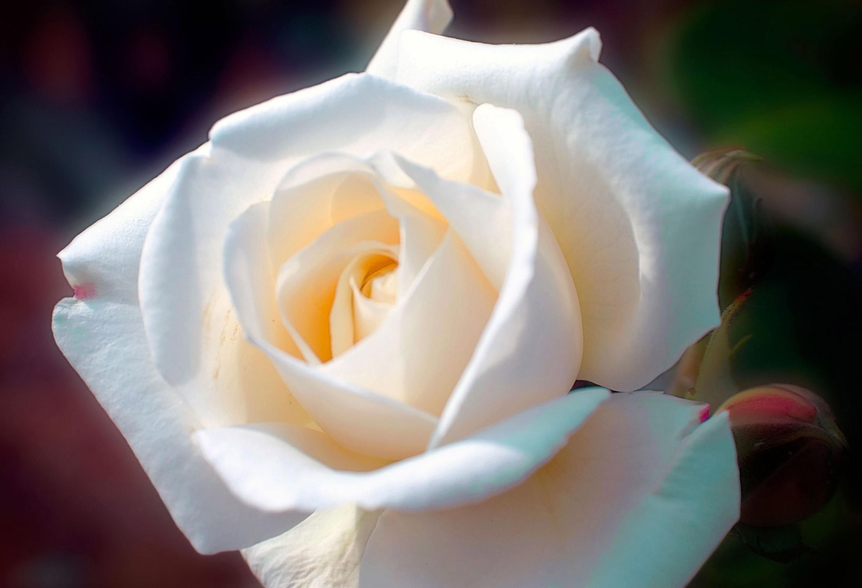 христово вселяет картинки самых красивых белых роз в мире серьёзный
