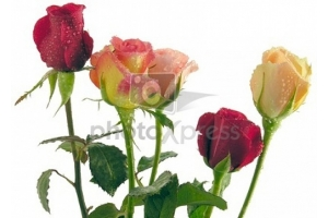 Картинки цветы скачать бесплатно розы