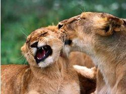 Животные целуются картинки