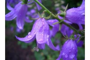 Цветы фото колокольчики
