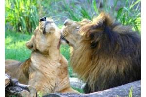 Львы любовь фото
