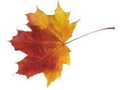 Картинки кленовые листья
