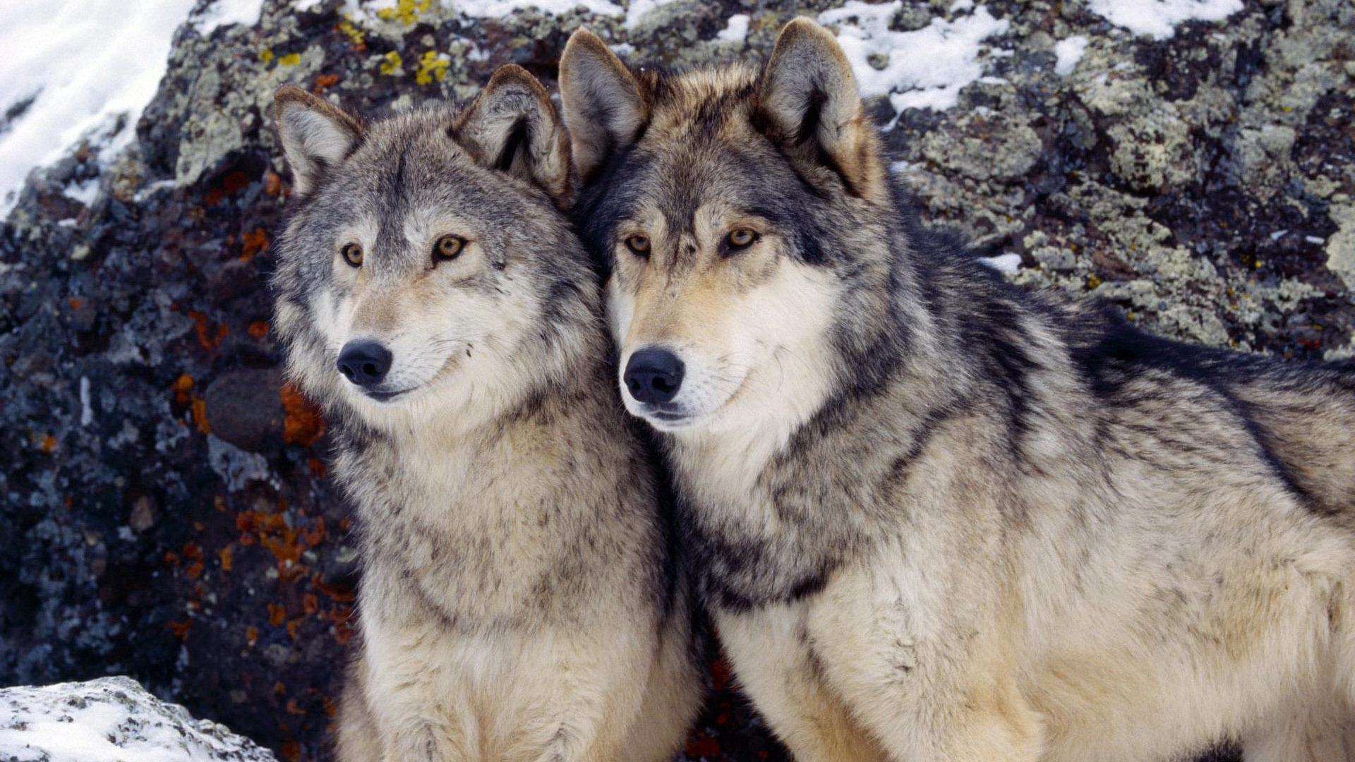 волчица зимой картинки методом